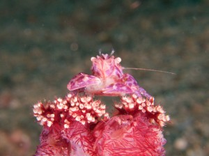 Soft coral porcelain crab with eggs, Raja Ampat, Indonesia